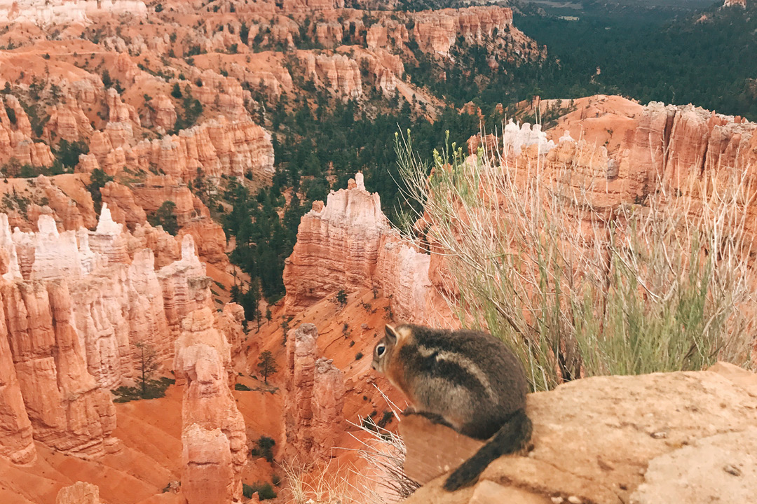 Squirell in Bryce Canyon